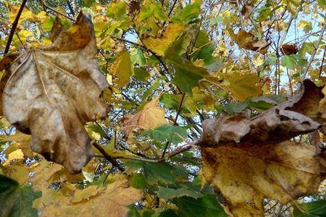Herbstliche Ahorn-Blätter 44. Kalenderwoche 2014
