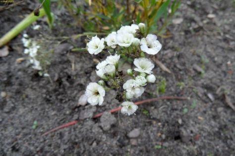 Viel weiße Blüten im November 2014