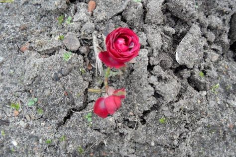 Rote Rose blüht im November 2014