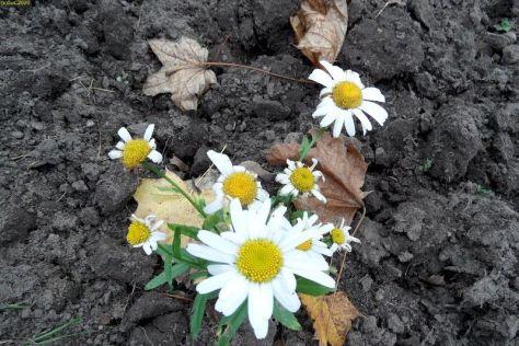 Es blüht in weiß im November 2014