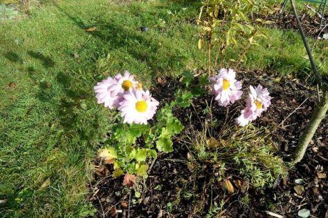 Chrysanthemen in Rosa 12.11.17