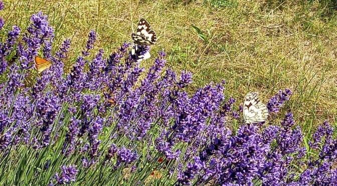 Schachbrettfalter und Braun-Dickkopffalter am Lavendel 3.7.21
