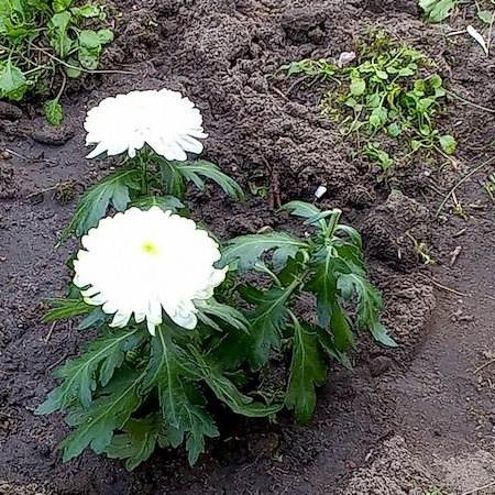 "Chrysanthemen Beet ""Omega"" 13.9.21"