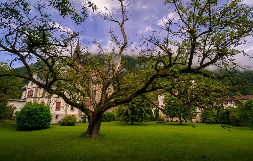 Large tree and church in Intralaken Switzerland