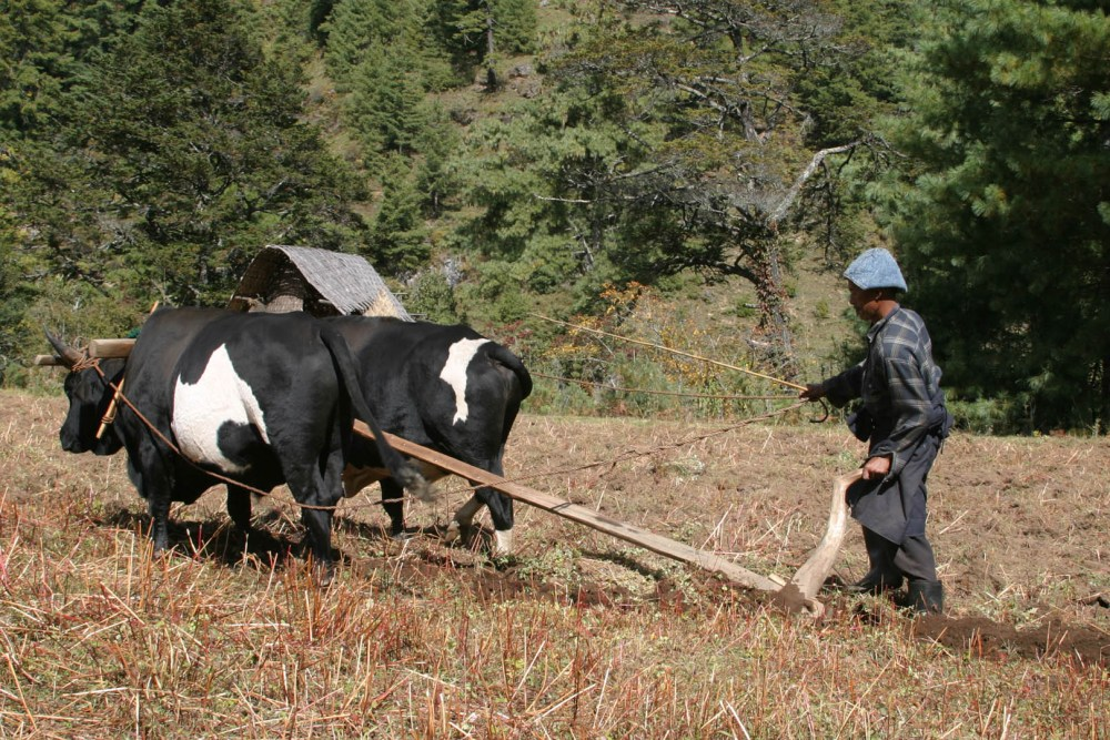 Ploughing at Bumthang