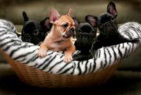 Bella Ridge French Bulldogs.JPG