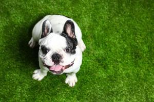 French Bulldog Sizes