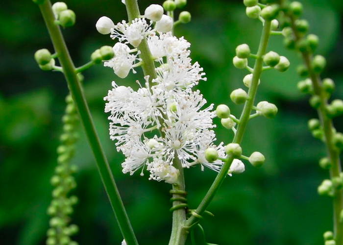 Black-cohosh-for-birth-control