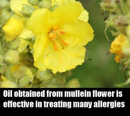 Mullein Flower