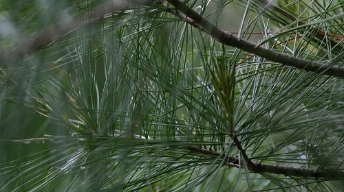 Pine Needles Pray