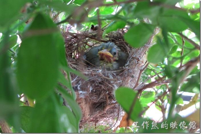 綠繡眼在我家陽臺的七里香上築巢 | 工作熊的玩樂生活誌