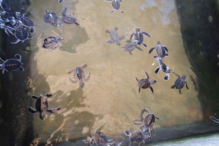 baby turtles sanctuary