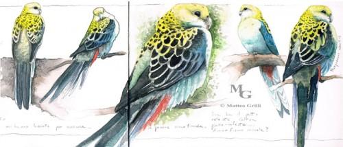 roseallas bird