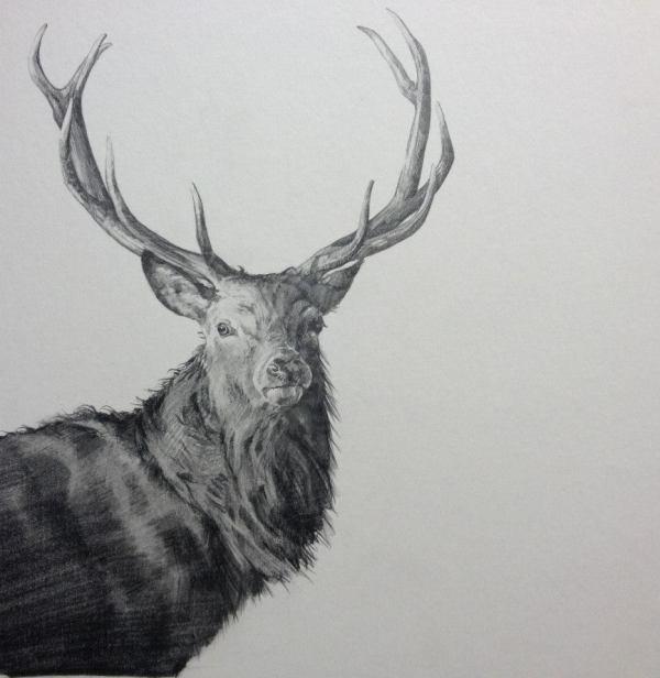 Realistic Deer Head Drawing
