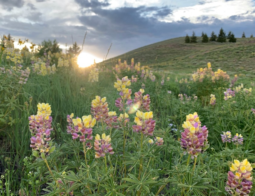 Lupine in Sun Valley