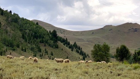 Sun Valley sheep