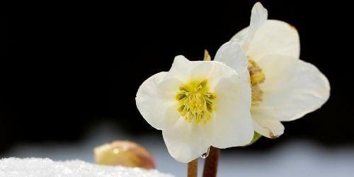helleborus bianco natalizio