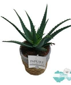 Vaso di Aloe Arborescens