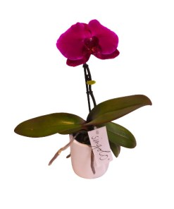 phalaenopsis viola con vaso in ceramica