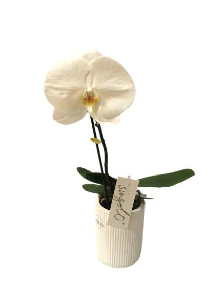 phalaenopsis singolo bianco