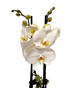 Orchidea zoom bianca
