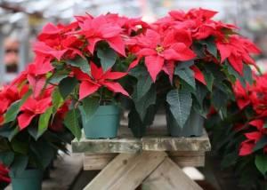 La Poinsettia rossa va riposta in un ambiente con clima favorevole alla sua crescita. Non ama le temperature basse