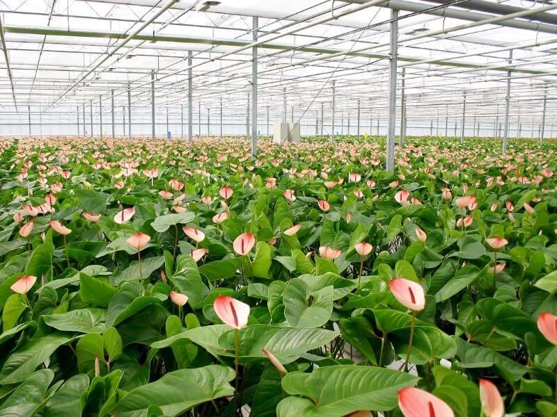 Per coltivare l'Anthurium in casa è necessario un clima con temperature costanti come quello di una serra