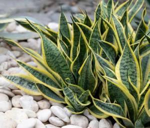 La Sansevieria ama il terriccio asciutto e ben drenante, poichè l'umidita rischia di far sviluppare muffe