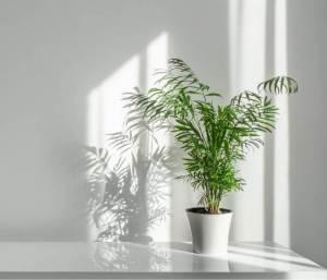 La Chamadorea è una pianta che in epoca vittoriana era considerata da salotto, in inghilterra veniva chiamata parlor palm