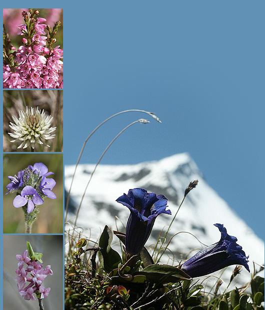 Fiori alpiniflora alpinafiori di montagna ONLINE  escursione virtuale rinforzo e vacanze nel paesaggio della flora montanara