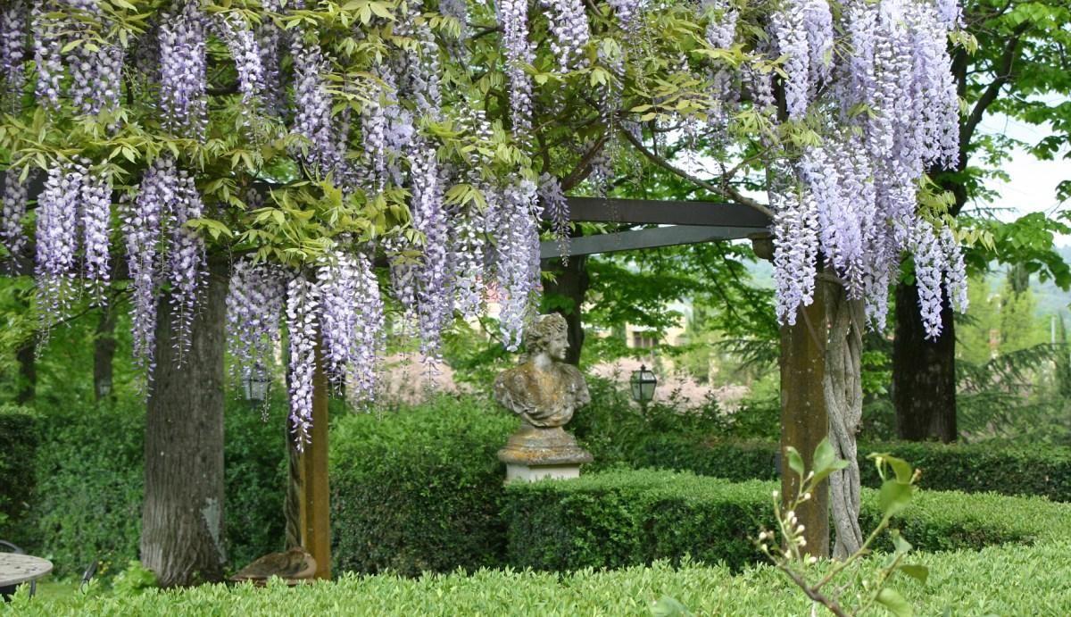 Pergola di glicine in giardino privato con siepi di bosso all'italiana (Grassina-FI)