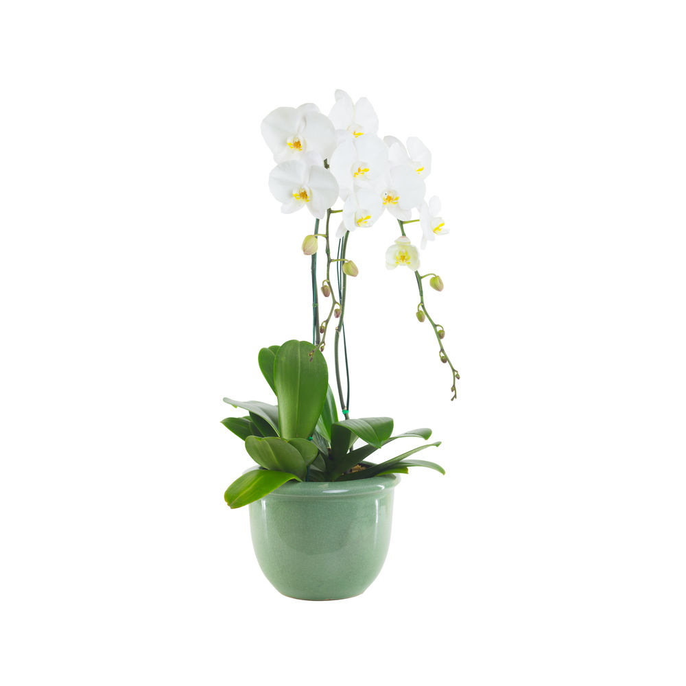 Pianta di Orchidea Phalaenopsys bianca  FioriOnlineit