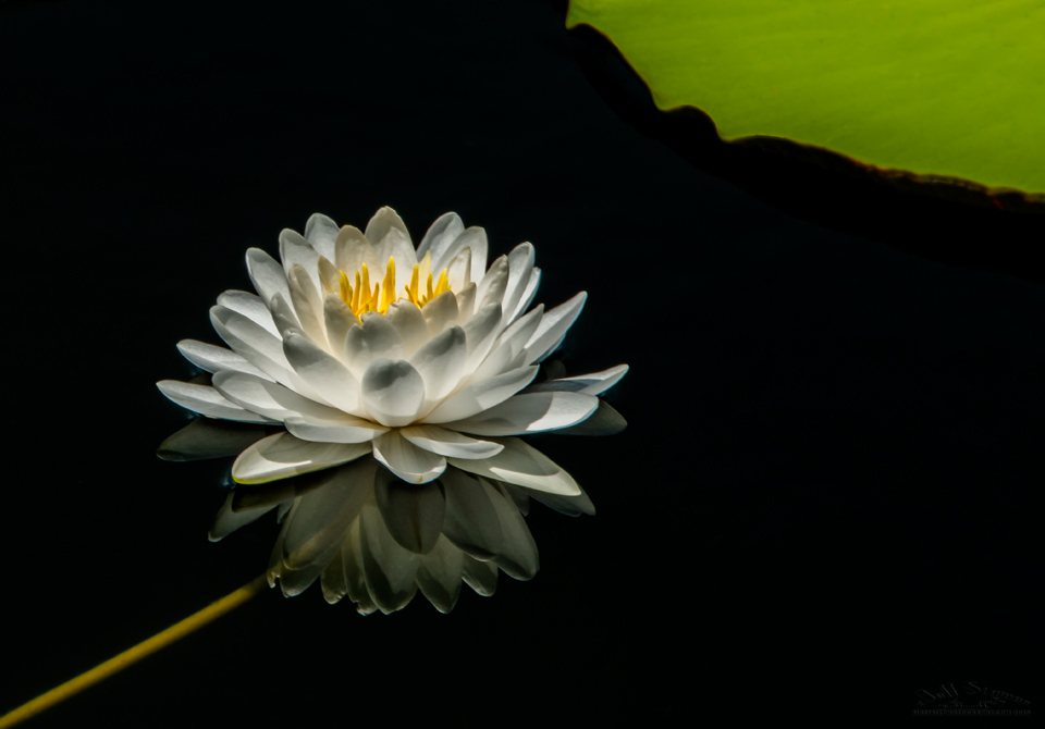 Monet water lily photography