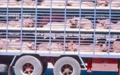 Animali: controlli della Polstrada sul trasporto, multe salate