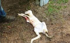 Siena, gregge decimato dai lupi ed allevatore mette una taglia di 1.000 euro