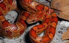 Catturato grosso serpente scappato da una teca a Follonica