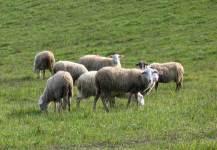 Pecore al pascolo in Versilia