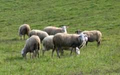 Siena: 13 pecore uccise dai lupi. Sono state assaltate nel recinto di notte