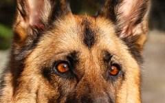 Empoli, bocconi avvelenati in riva all'Arno: salvati due cani