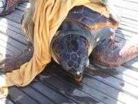 La tartaruga marina trovata e liberata dalle reti all'Elba