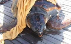 Elba, salvata tartaruga marina finita in una rete