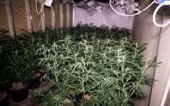 Firenze, scoperta maxi serra di marijuana. Sequestrati cinque quintali