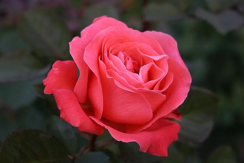 La rosa simbolo della Festa della mamma