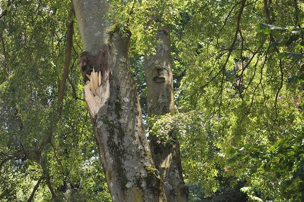 L'innesto dell'albero dove si è staccato il ramo che ha ucciso Alice e la zia Donatella