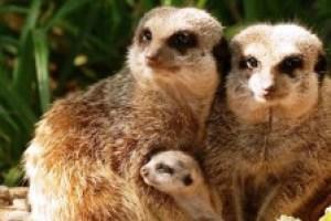 I suricati dello zoo di Pistoia