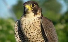 Fucecchio: il comune lancia aquile e falchi per allontanare i piccioni dal centro