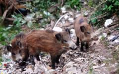 Toscana: caccia agli ungulati 5 giorni la settimana fino al 18 settembre