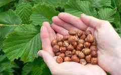Accordo fra la Regione Toscana e la Ferrero trading Lux Sa per la coltivazione delle nocciole