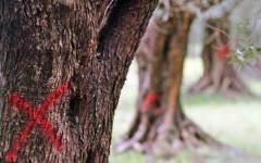 Xylella in Liguria su un ulivo che viene dalla Toscana? L'assessore Salvadori smentisce e s'infuria