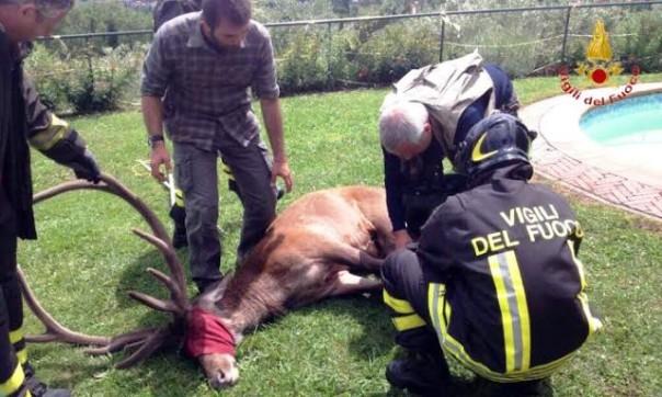 Pistoia, il cervo caduto nella piscina e salvato dai vigili del fuoco